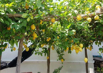 lemons are ready for limoncello