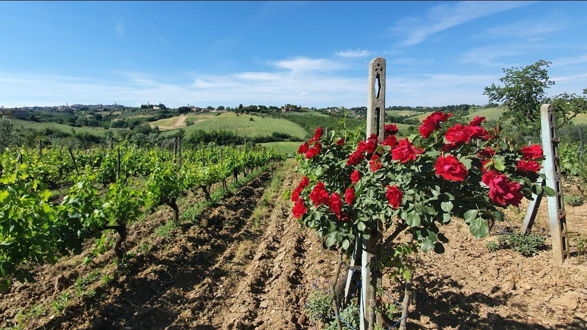 roses planted at the top of the vineyard rows