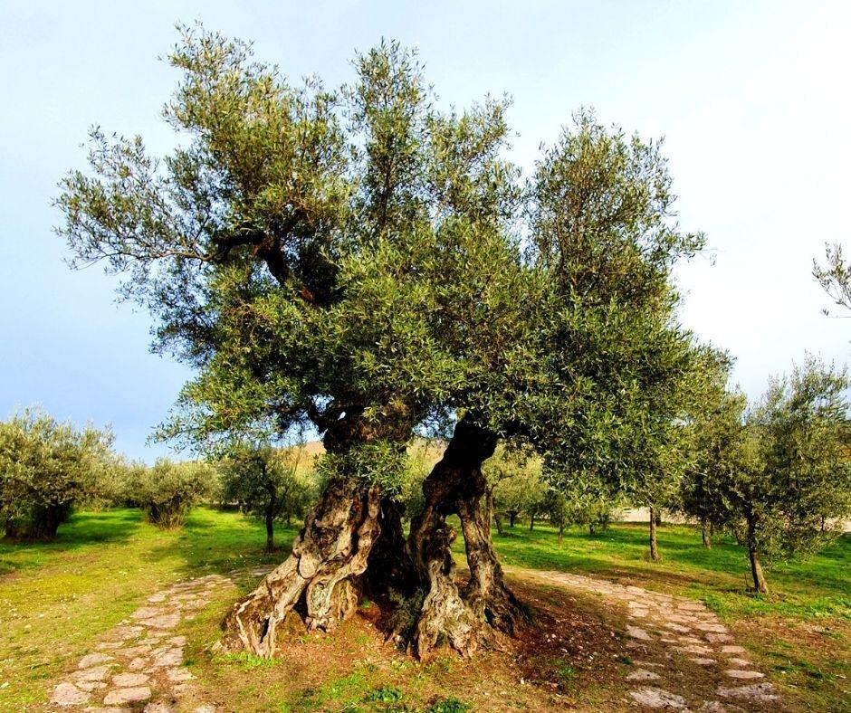 Story of a millenary olive tree
